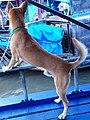 Chó cỏ ở Cần Thơ (chợ nổi) năm 2014 (1a) (1).JPG