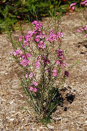 Description de l'image Chamelaucium uncinatum in flower.JPG.