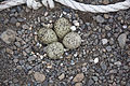 Charadrius hiaticula psammodromus Iceland 6.jpg