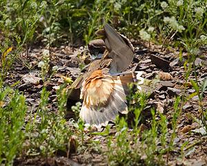 Distraction display - Killdeer feigning a broken-wing