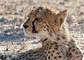 Cheetah (Acinonyx jubatus) juvenile ... (51005765492).jpg