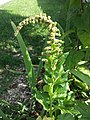 Chenopodium bonus-henricus sl29.jpg