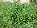 Chenopodium bonus-henricus sl6.jpg