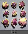 Chenopodium polyspermum sl3.jpg