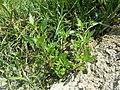 Chenopodium rubrum (s. str.) sl33.jpg