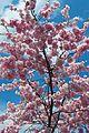 Cherry Blossom (4524817941).jpg