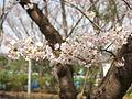 Cherry blossom 桜の花 (445085043).jpg