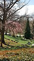 Cherry tree on the hill - Lake View Cemetery (32422133876).jpg