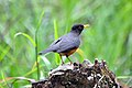 Chestnut-bellied Thrush (5304204959).jpg