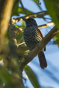 Chestnut-breasted Antshrike - Regua - Brazil S4E0736 (16635549538).jpg