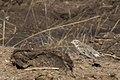 Chestnut-collared Longspur Davis Pasture Sonoita AZ 2018-01-26 12-33-58-2 (28165458719).jpg
