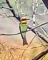 Chestnut-headed bee-eater (Merops leschenaulti) 2.jpg