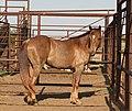 Chestnut horse IMG 5159.jpg
