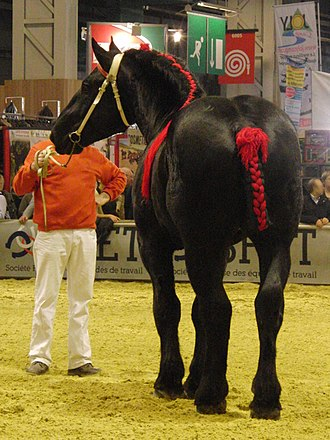 Percheron - A black Percheron