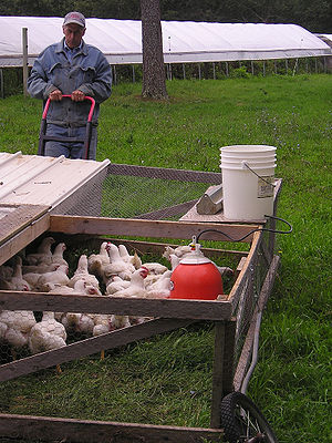 Pastured poultry - A chicken tractor in use as part of a pastured poultry system
