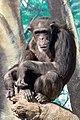 Chimpanzee, Osaka Tennoji Zoo - Flickr - lasta29.jpg