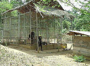 Chimpanzee rescue centre near Belabo