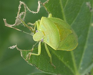 <i>Chinavia</i> Genus of true bugs