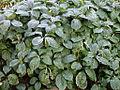 Chloranthus oldhami 20070226-1527-41.jpg