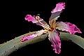 Chorisia speciosa nos bracos de 1 Aloe.jpg