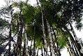 Chrysalidocarpus madagascariensis 1zz.jpg