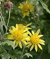 Chrysanthemum indicum jd plt fl.jpg