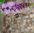 Chrysotoxum bicinctum - Flickr - gailhampshire (7).jpg