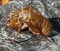 Cicada moult 02.jpg