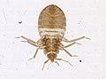 Cimex lectularius (YPM IZ 093685).jpeg