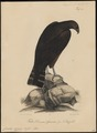 Circaëtus cinereus - 1835 - Print - Iconographia Zoologica - Special Collections University of Amsterdam - UBA01 IZ18100259.tif