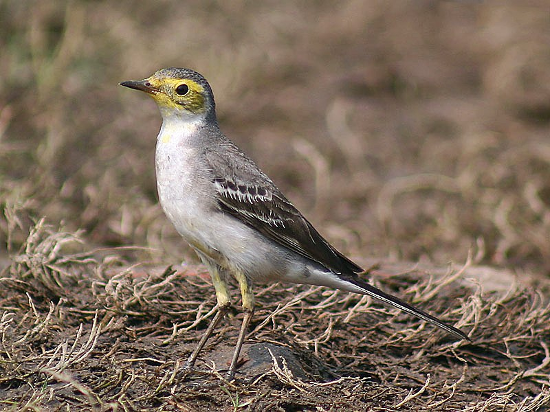 Citrine wagtail I IMG 5467