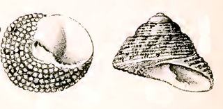 <i>Clanculus aloysii</i> Species of gastropod