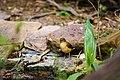 Clay-colored thrush (32942231338).jpg