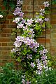 Clematis 'Bees' Jubilee' at Boreham, Essex, England.jpg