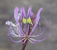 Cleome hirta flower