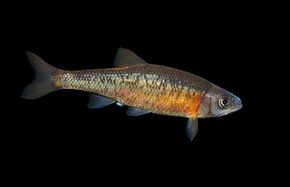 Clinostomus funduloides Rosyside Dace.jpg