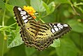 Clipper - Parthenos sylvia from Chalavara.jpg