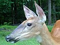 Close up of female white tailed deer's head.jpg