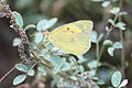 Clouded Yellow Sulfur.jpg