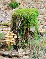 Clustered woodlover - Hypholoma fasciculare - Grünblättriger Schwefelkopf - sulfur tuft - 03.jpg