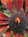 Coccinelle sur une fleur.jpg