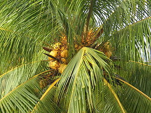 Coconut tree in Cuba