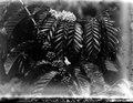 Coffea robusta, blommande och fruktbärande grenar. Modajag. Indonesien - SMVK - 022163.tif