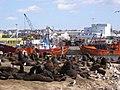 Colonia de lobos marinos en el puerto de Mar del Plata.jpg