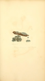 Coloured Figures of English Fungi or Mushrooms - t. 64.png