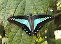 Common Bluebottle Graphium sarpedon UP by Dr. Raju Kasambe DSCN1849 (13).jpg