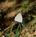 Common Cerulean^ Jamides celeno - Flickr - gailhampshire.jpg