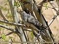 Common Cuckoo (Cuculus canorus) (28070096482).jpg