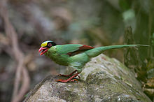 Common Green Magpie.jpg