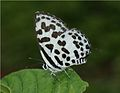 Common Pierrot (Castalius rosimon). Underside. Mumbai, Maharashtra..jpg